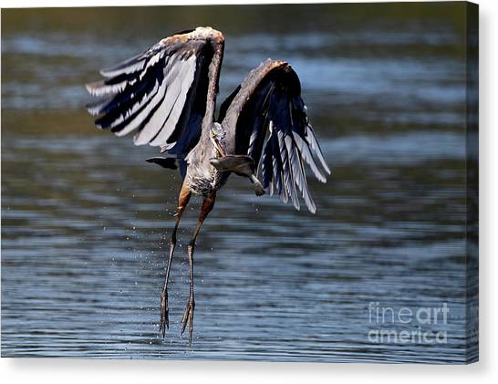 Great Blue Heron In Flight With Fish Canvas Print