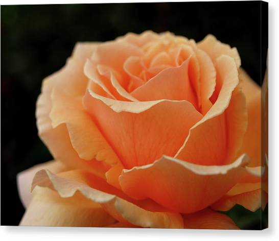 Hever Castle Peach Rose Canvas Print