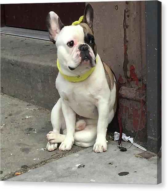 Hey, #bulldog! #harlem #nycdogs #nyclife Canvas Print by Gina Callaghan