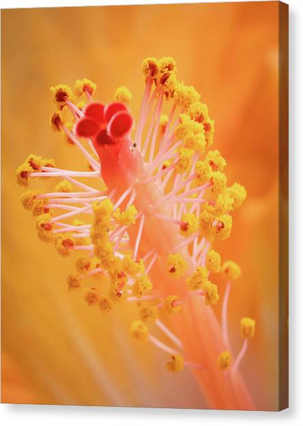 Canvas Print featuring the photograph Hibiscus-1 by David Coblitz