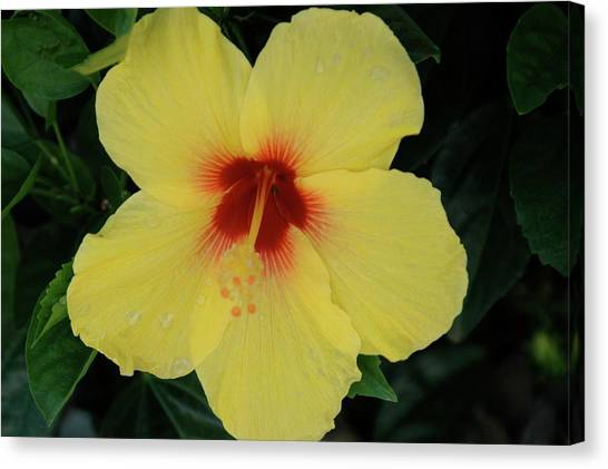 Sun Lover Hibiscus Canvas Print