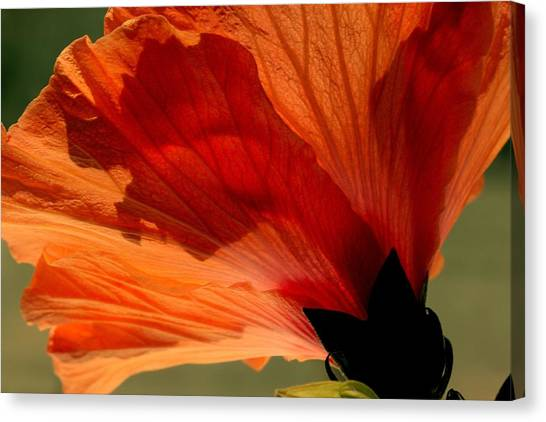 Canvas Print - Hibiscus Dawn by Russell Wilson
