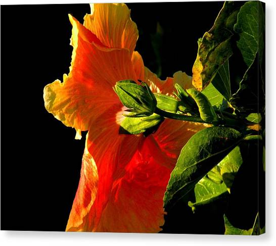 Hibiscus In The Light Canvas Print by Rosalie Scanlon