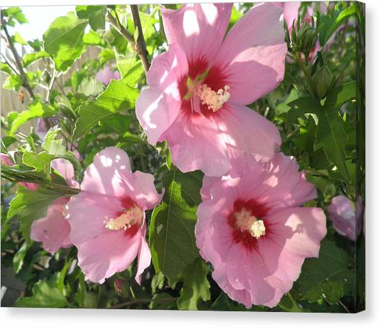 Hibiscus Canvas Print by Kate Gallagher