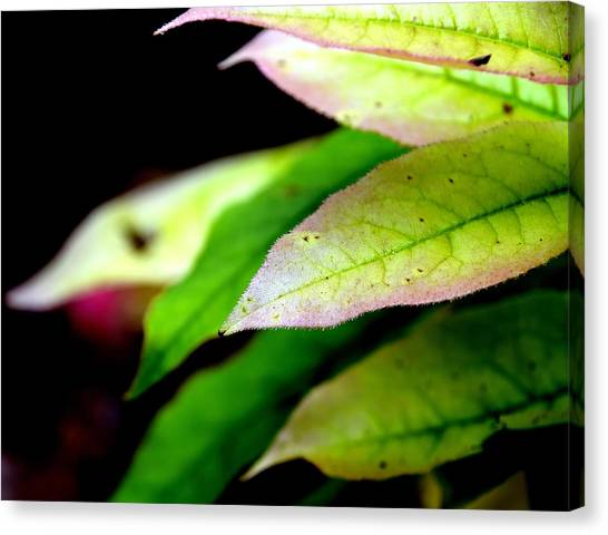 Hickory Leaf Canvas Print