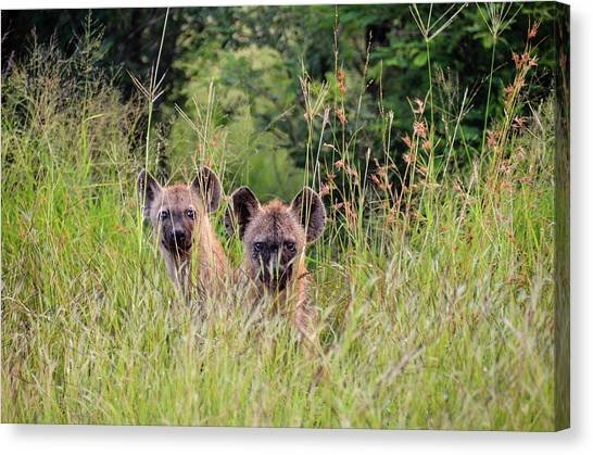 Hide-n-seek Hyenas Canvas Print
