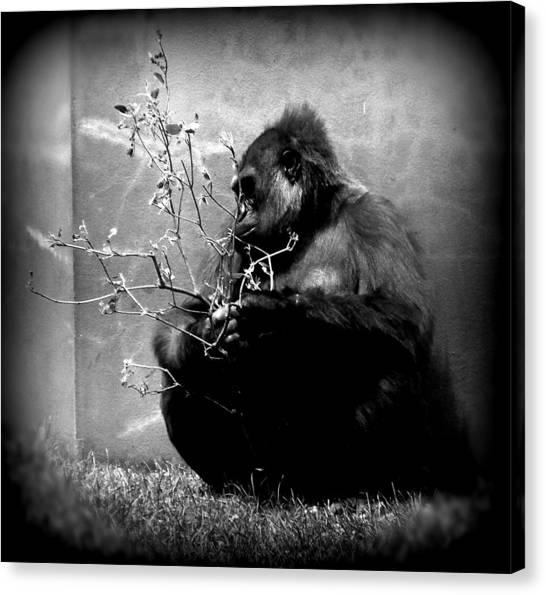 Hiding Gorilla Canvas Print by Emily Kelley