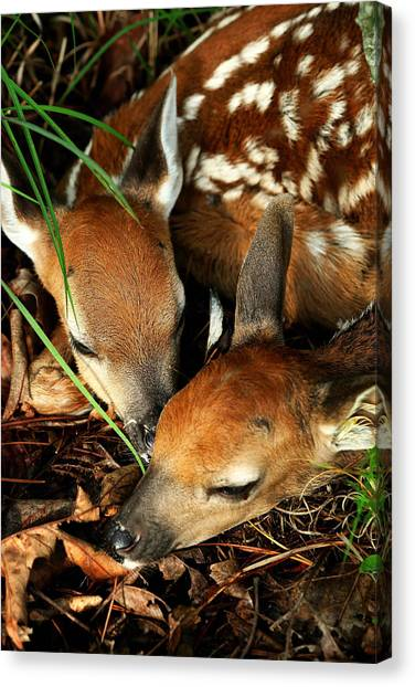 Hiding Twin Whitetail Fawns Canvas Print