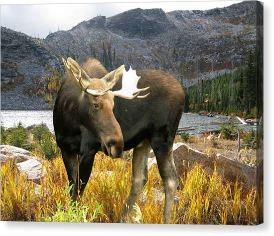 High Country Moose Canvas Print by Robert Bissett