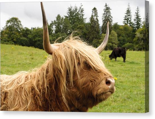 Scottish Folds Canvas Print - Highland Coo by Christi Kraft