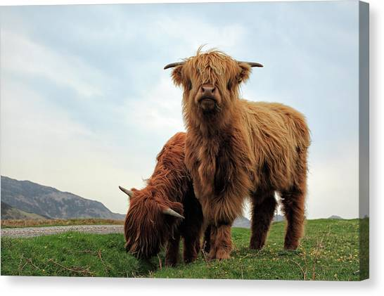 Bulls Canvas Print - Highland Cow Calves by Grant Glendinning