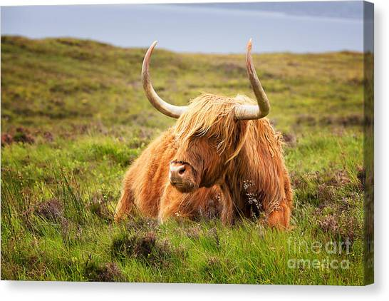Angus Steer Canvas Print - Highland Cow by Jane Rix