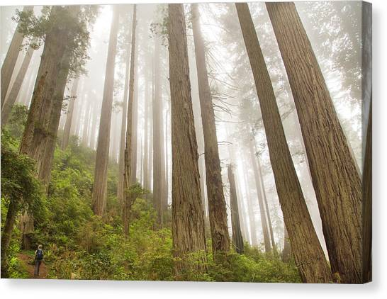 Hike Through The Redwoods Canvas Print