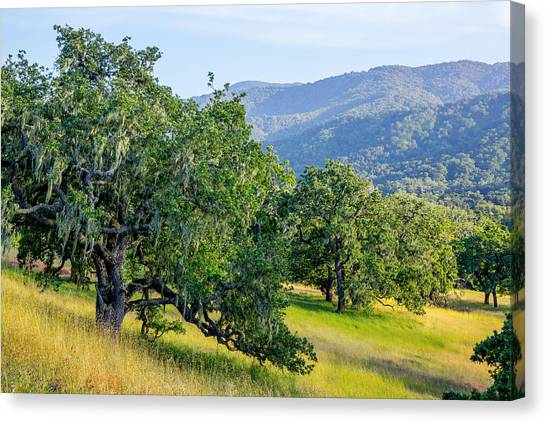 Hillside Oaks Canvas Print