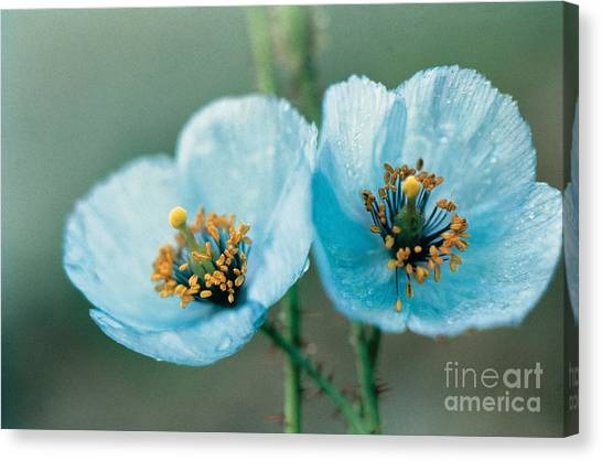 Pairs Canvas Print - Himalayan Blue Poppy by American School