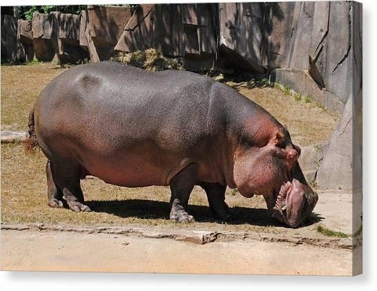 Hippos Canvas Print - Hippo by Carissa Kreuziger