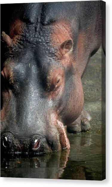 Hippo Drinking Canvas Print by Samantha Kimble