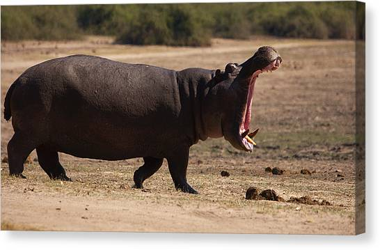 Hippo On The Land Canvas Print