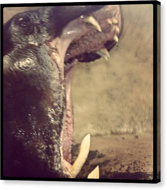 Hippos Canvas Print - Hippo Yawning, This Guys Ready For A by Angela Ahrens