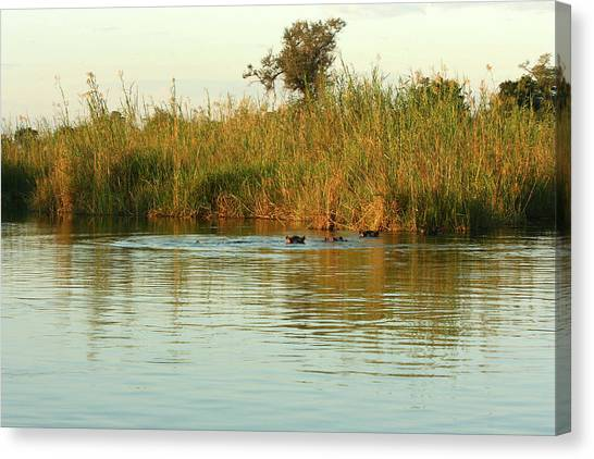 Hippos, South Africa Canvas Print