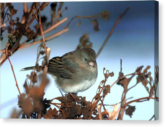 His Eye Is On The Sparrow Canvas Print by Richard Oliver