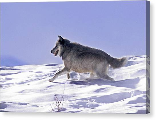 His Majesty Wolf 21m Canvas Print