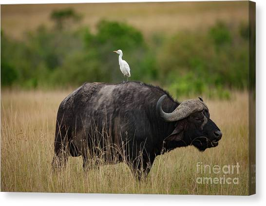 Grazing Canvas Print - Hitching A Ride by Smart Aviation