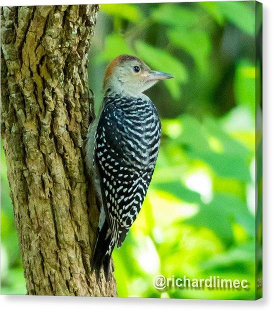 Woodpeckers Canvas Print - Hmm... Where's My Worm? #bird by Richard Lim