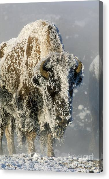 Hoarfrost Canvas Print - Hoarfrosted Bison In Yellowstone by Sandra Bronstein
