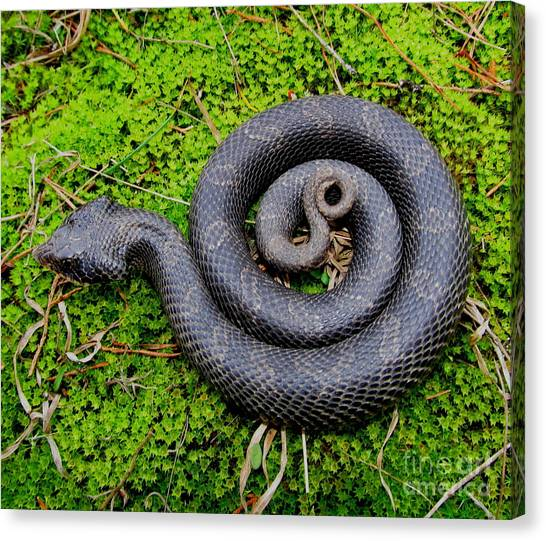 Hognose Spiral Canvas Print