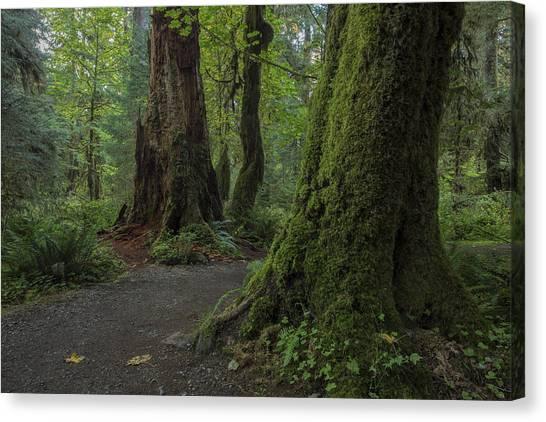 Hoh Rainforest Canvas Print by Dave Crowl