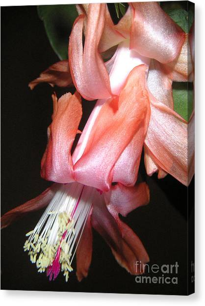 Holiday Cactus - A Full Bloom Canvas Print by Lucyna A M Green
