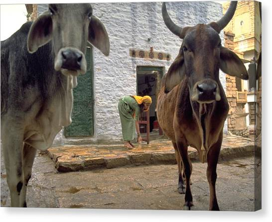 Travelpics Canvas Print - Holy Cow by Travel Pics
