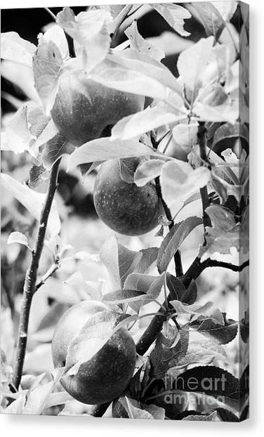 Self Discovery Canvas Print - Home Grown Discovery Apples In A Garden In The Uk by Joe Fox