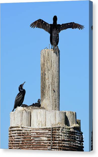 Home Sweet Home Brandt's Cormorant Style Canvas Print