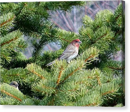Canvas Print - Home Sweet House Finch by Red Cross