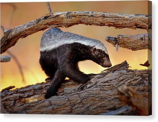 Kalahari Desert Canvas Print - Honey Badger  by Johan Swanepoel
