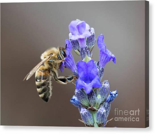 Honey Bee - Apis Mellifera - Feeding On Lavender Canvas Print