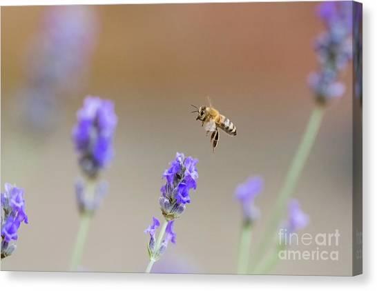 Honey Bee - Apis Mellifera - Flying Through Lavender In Flower Canvas Print