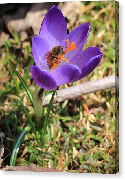 Honey Bee On Crocus  Canvas Print