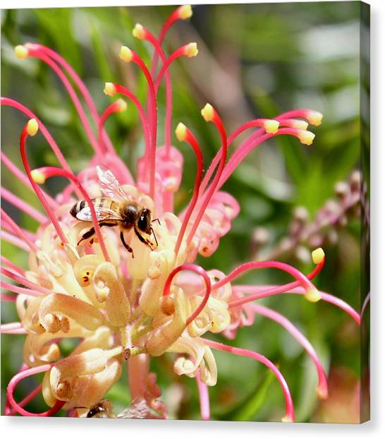 Honey Bee On Grevillea  Canvas Print
