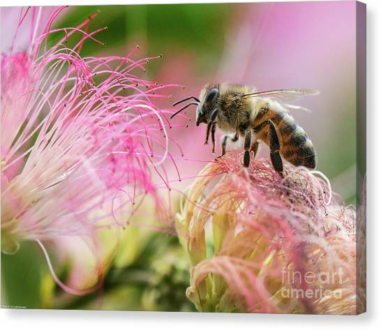 Mimosa Canvas Print - Honey Bee On Mimosa Flower by Mitch Shindelbower