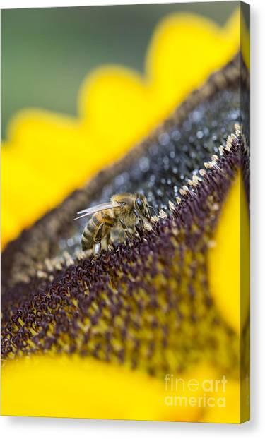 Pollinator Canvas Print - Honey Bee by Tim Gainey