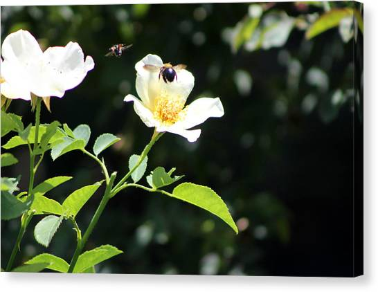 Honey Bees In Flight Over White Rose Canvas Print