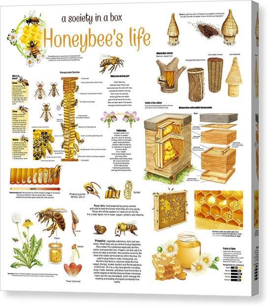 Honey Bees Infographic Canvas Print