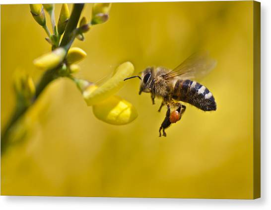 Honeybee Apis Mellifera Canvas Print