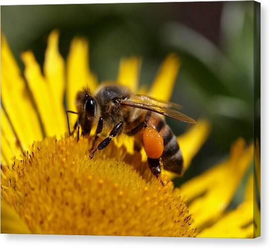 Canvas Print - Honeybee At Work by Rona Black