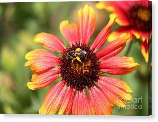 Honeybee On Blanket Flower Canvas Print