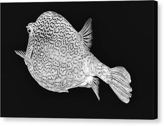 Canvas Print featuring the photograph Honeycomb Cowfish by Perla Copernik