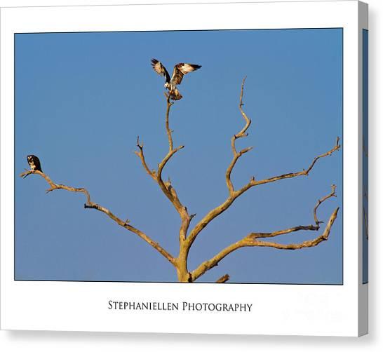 Honeymoon Osprey Canvas Print
